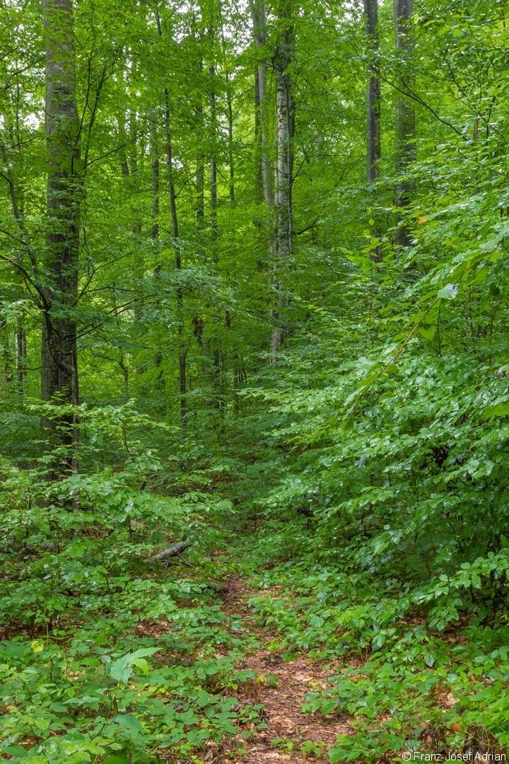 schmaler, fast zugewachsener Trampelpfad im Buchenurwald