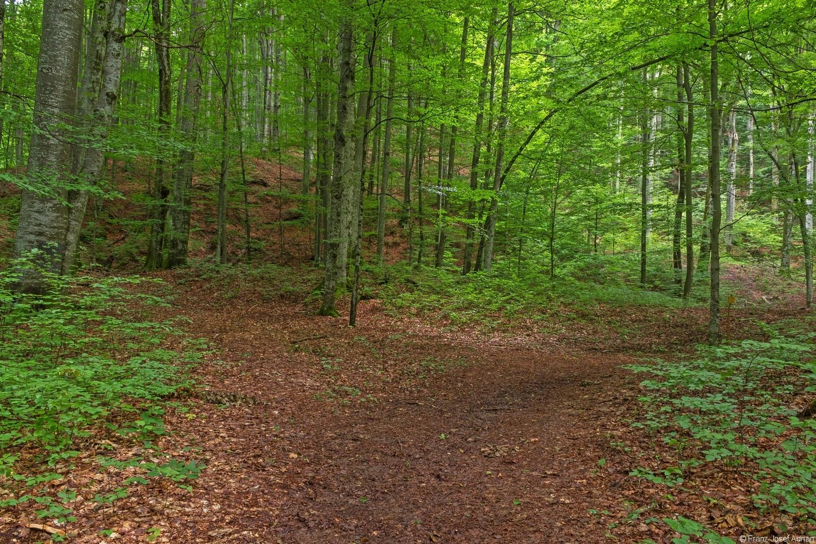 Weggabelung 200 m nach Eintritt in den Buchenurwald
