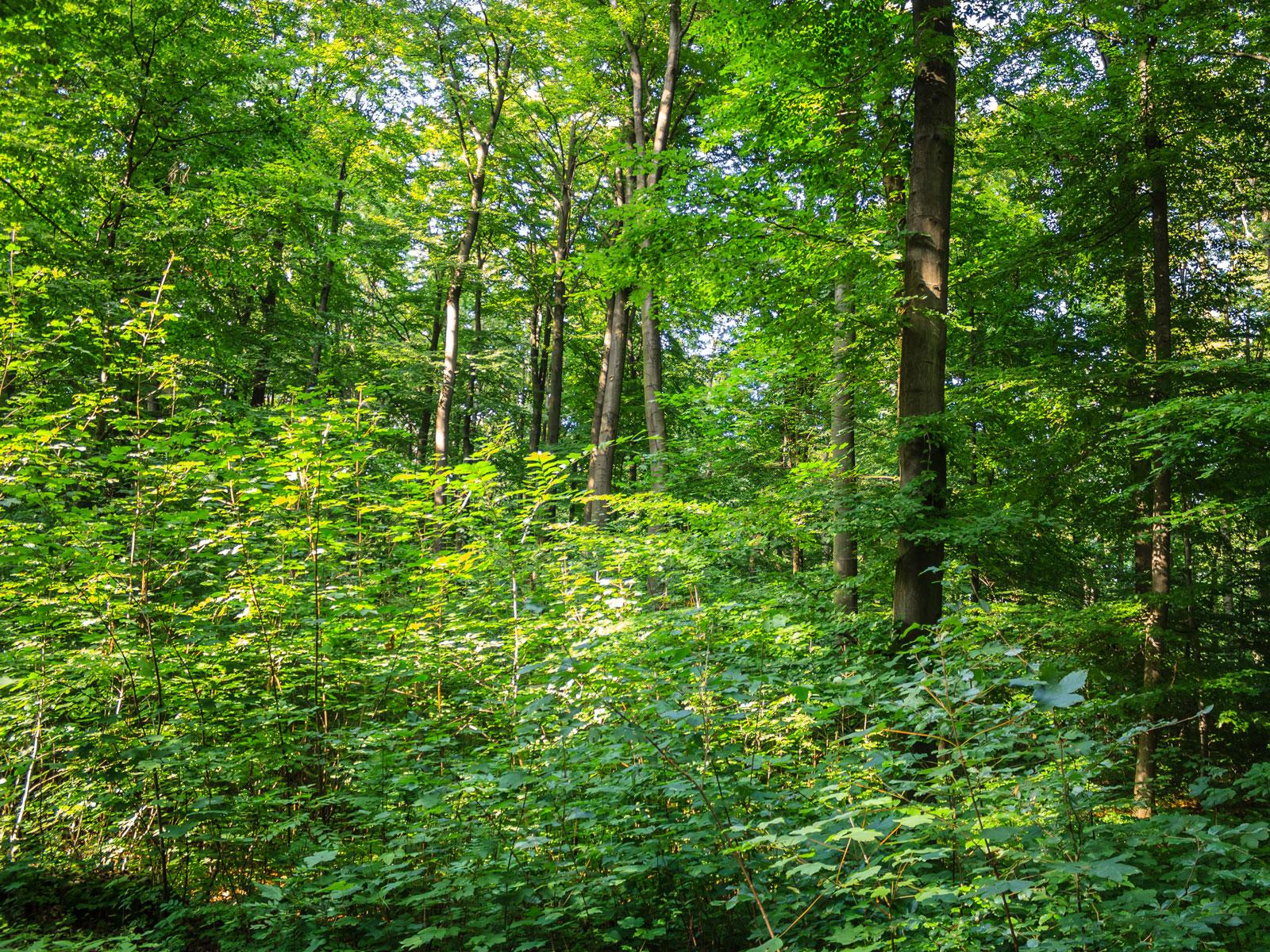 natürliche Verjüngung aus Bergahorn und Eschen