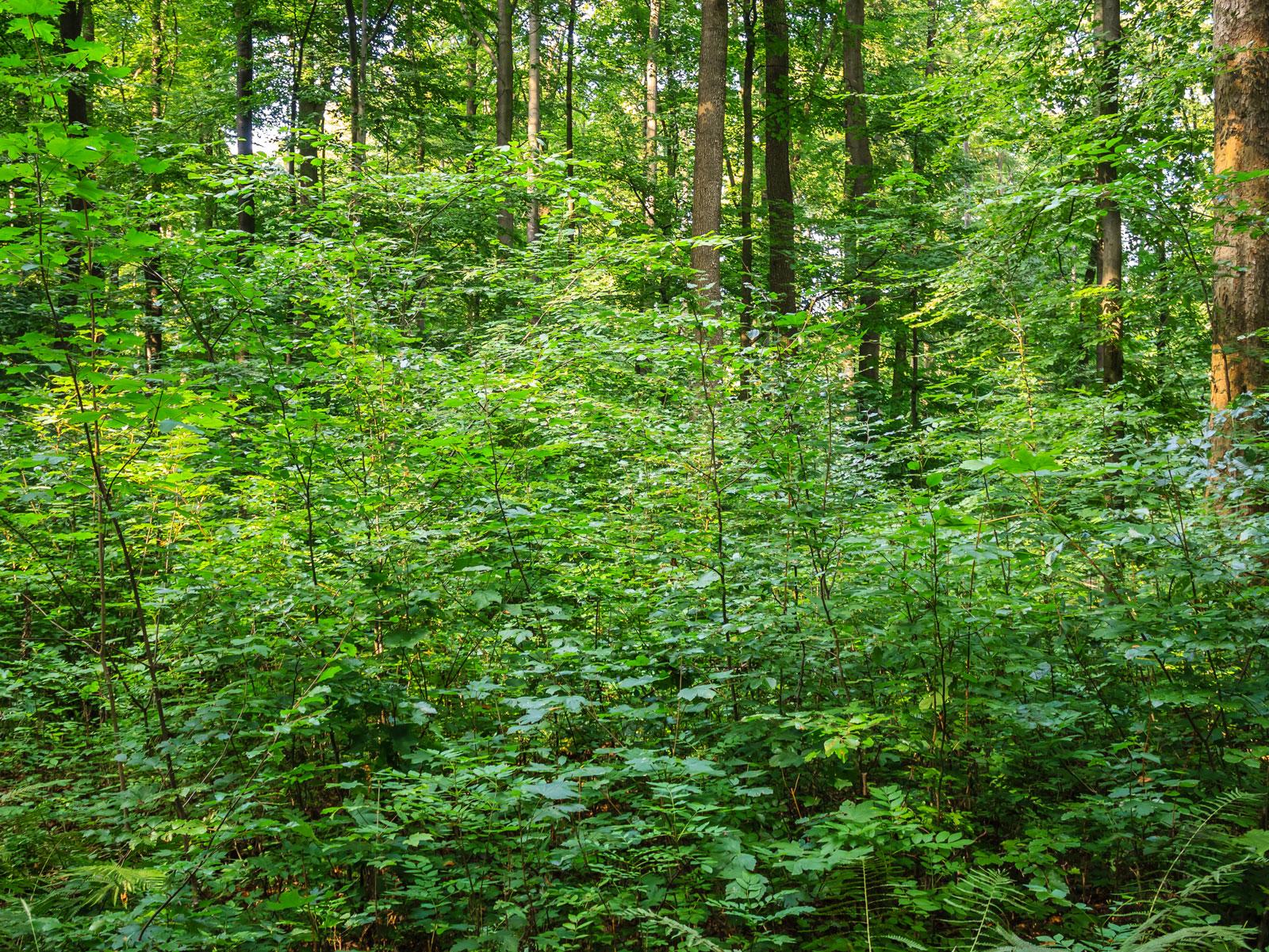 Bergahorn und Buchenjungwuchs, rechts ein alter Ahornbaum