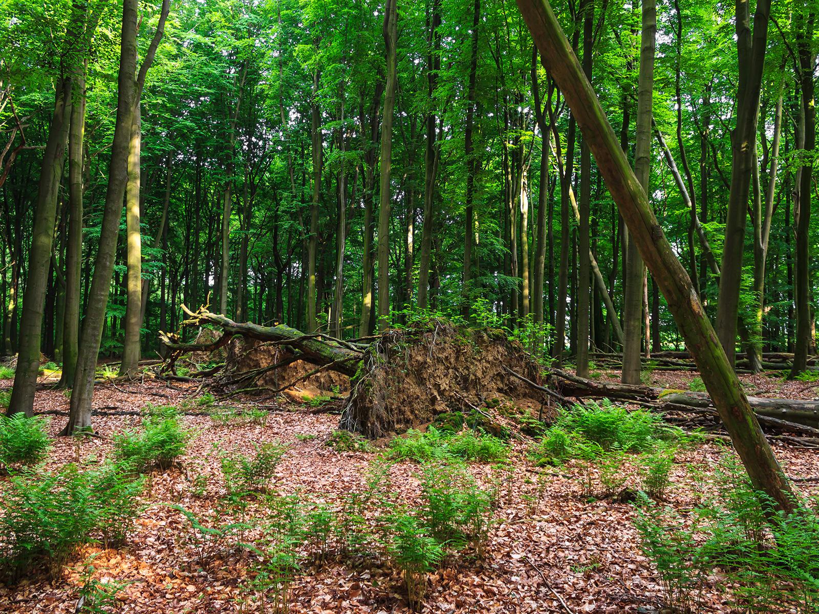 senkrechte Wurzelteller und liegende tote Bäume