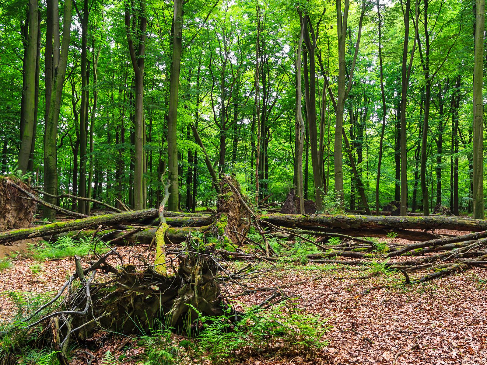 Windwurffläche mit liegenden toten Bäumen