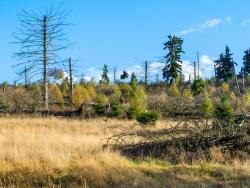 junge Birken und Fichten auf totholzreicher Windwurffläche
