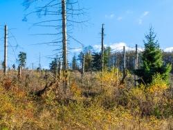 im Vordergrund junge Birken zwischen stehendem starken Totholz
