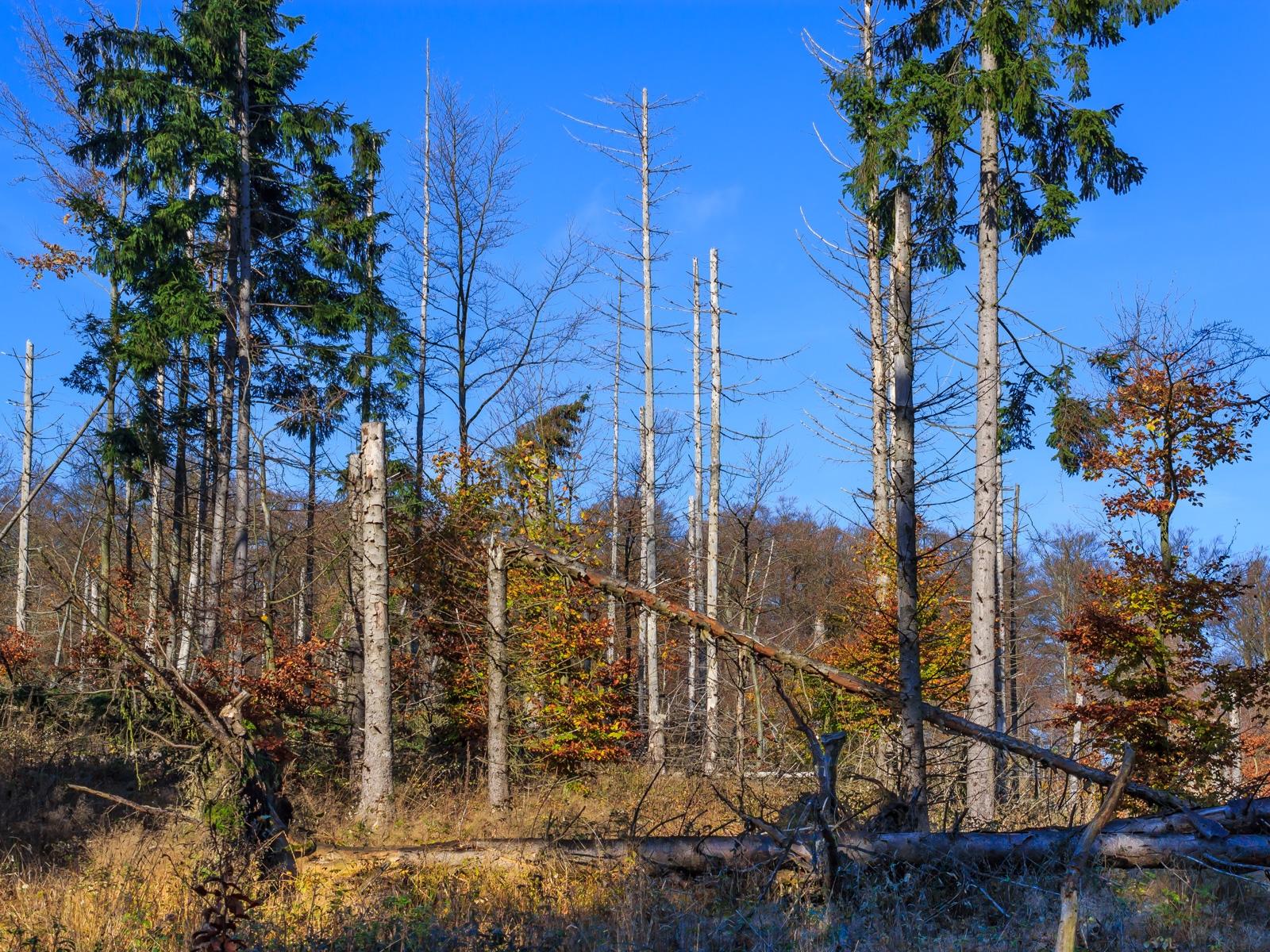 nicht geräumte Windwurffläche am Arensberg