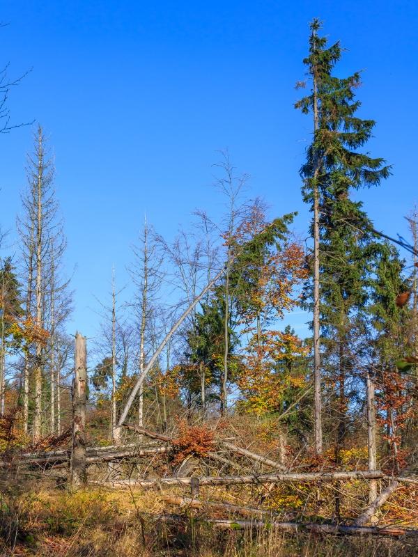 große Mengen an stehenden und liegenden starken Totholz