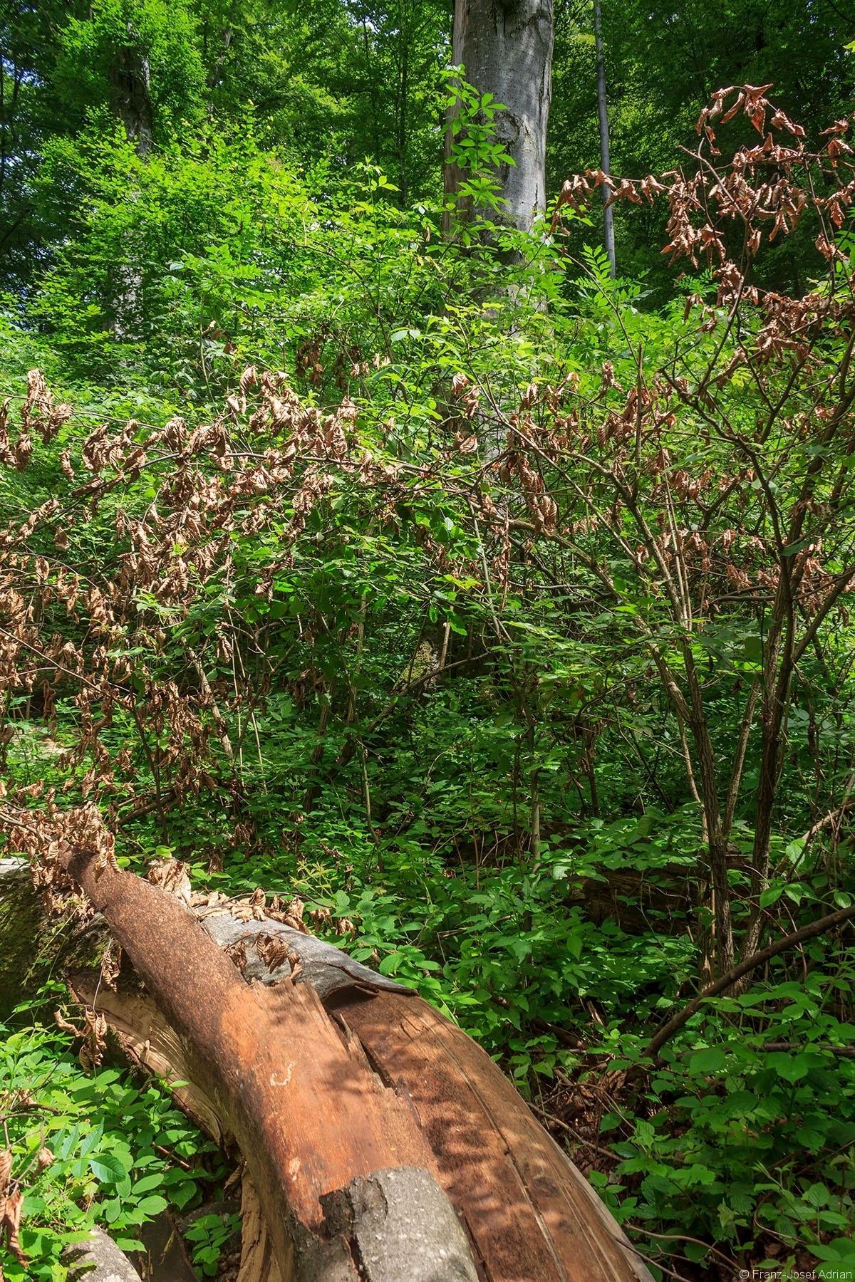 am Boden Brombeeren, rechts ein Holunderbusch