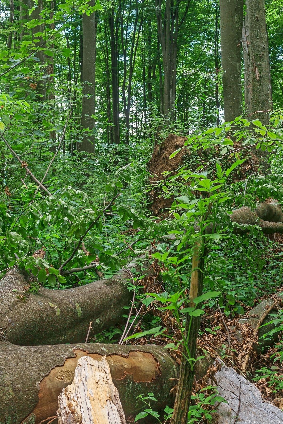 ganz vorne ein abgebrochener Holunderbusch