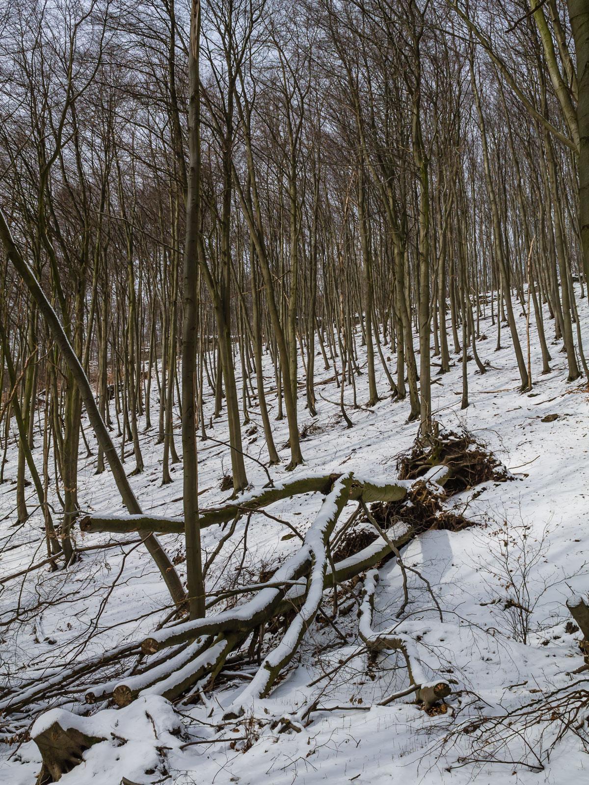 Schneebeckter liegender Biotopbaum