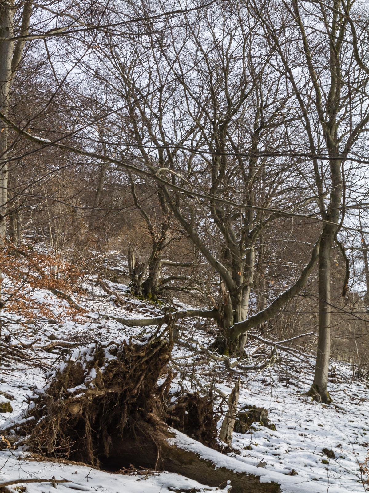zwei knorrige Buchen hinter einem liegenden Biotopbaum