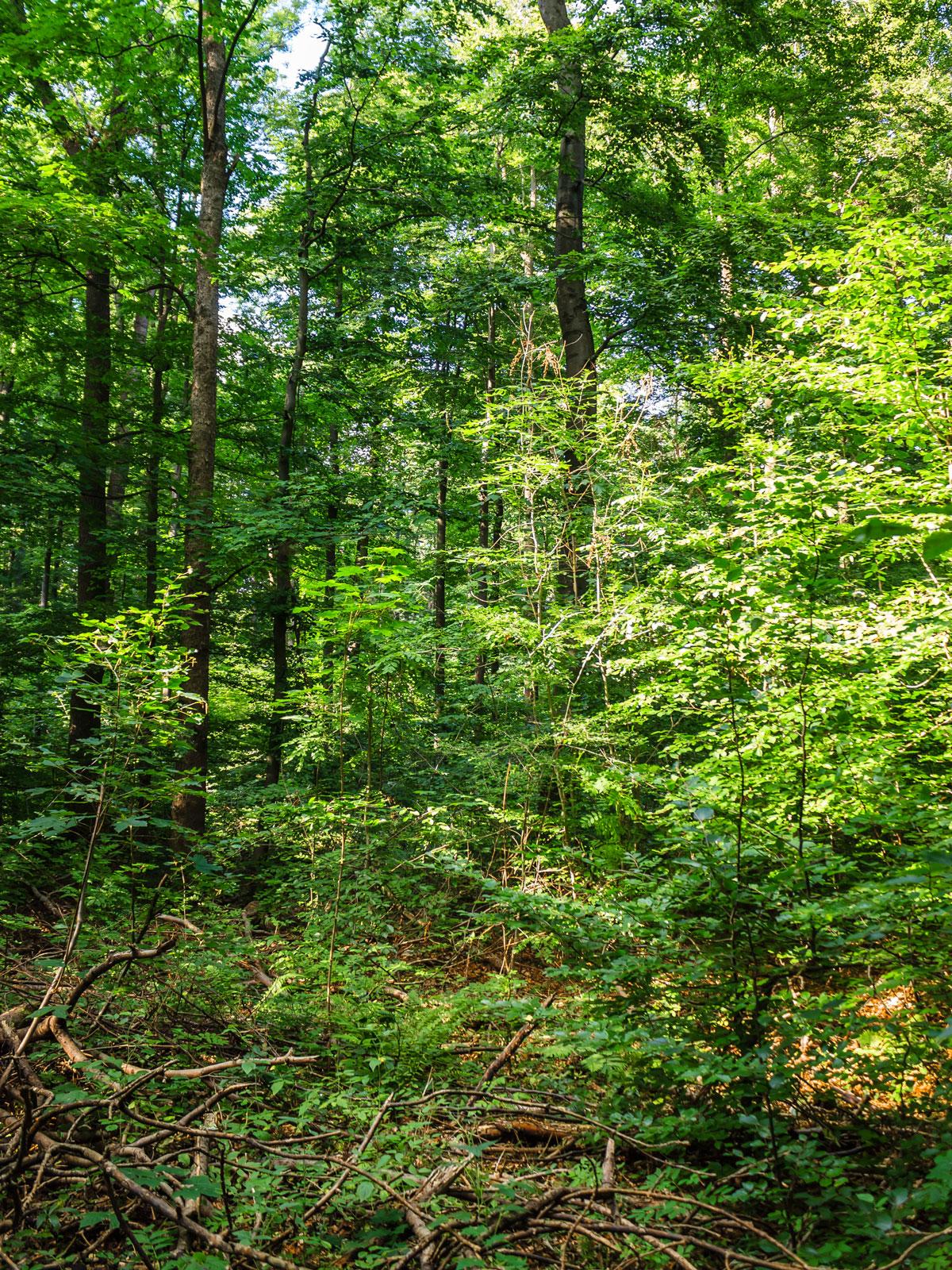 Buchen, Eschen und Bergahorn-Jungwuchs inmitten von Totholz