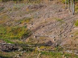 """""""Bestände mit alten Nadelbäumen werden entfernt."""""""