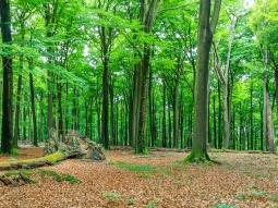 stehender Wurzelteller, noch lebender Altbaum mit Zunderschwamm
