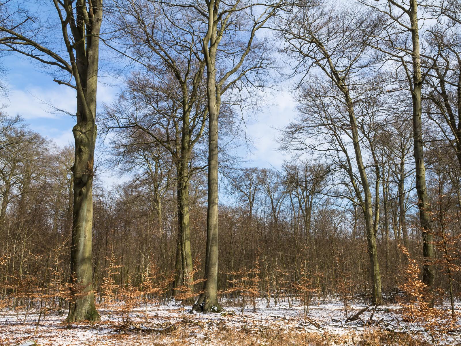 Hiesfelder Buchenwald