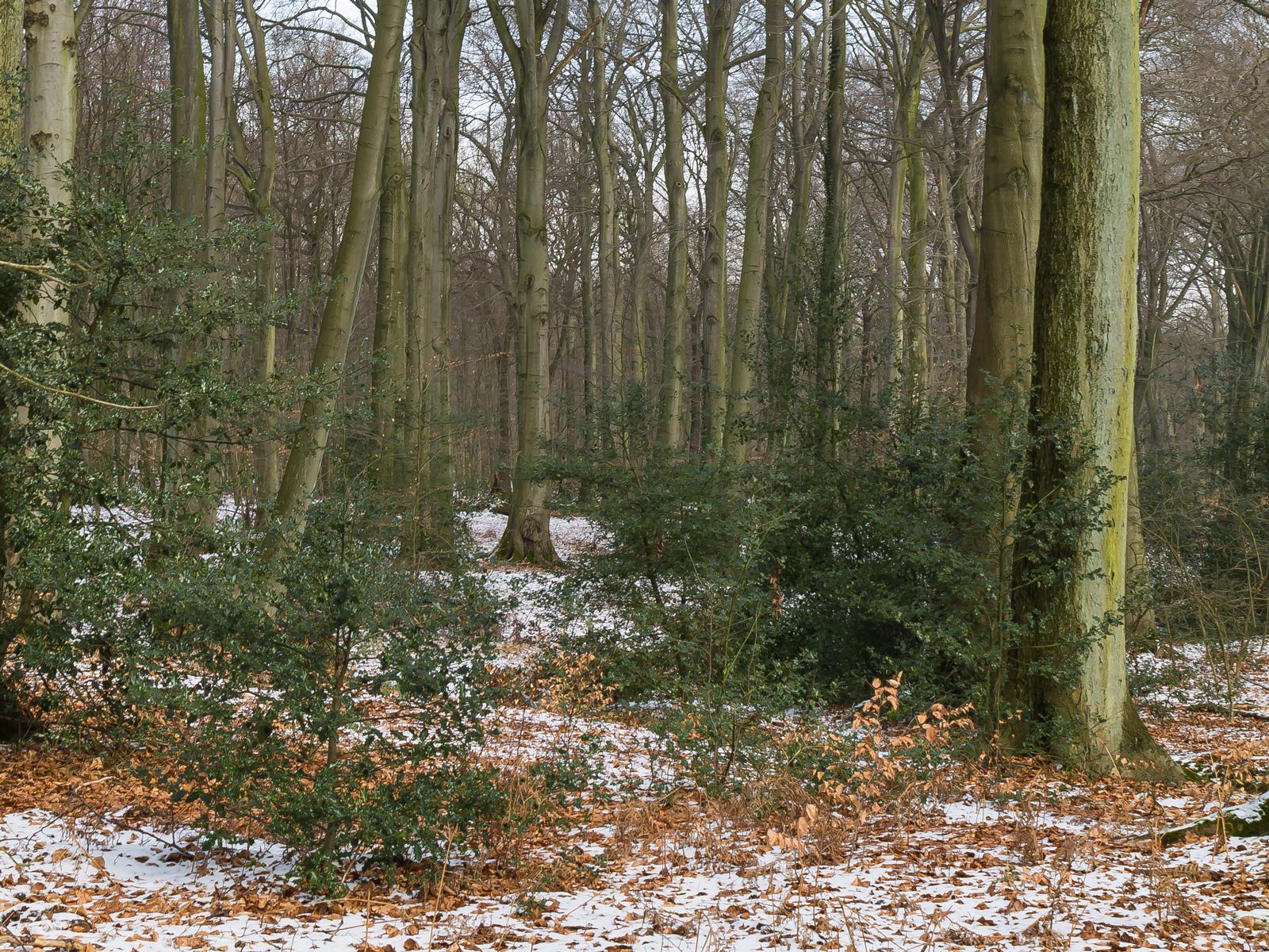 Stechpalmensträucher in der Naturwaldzelle