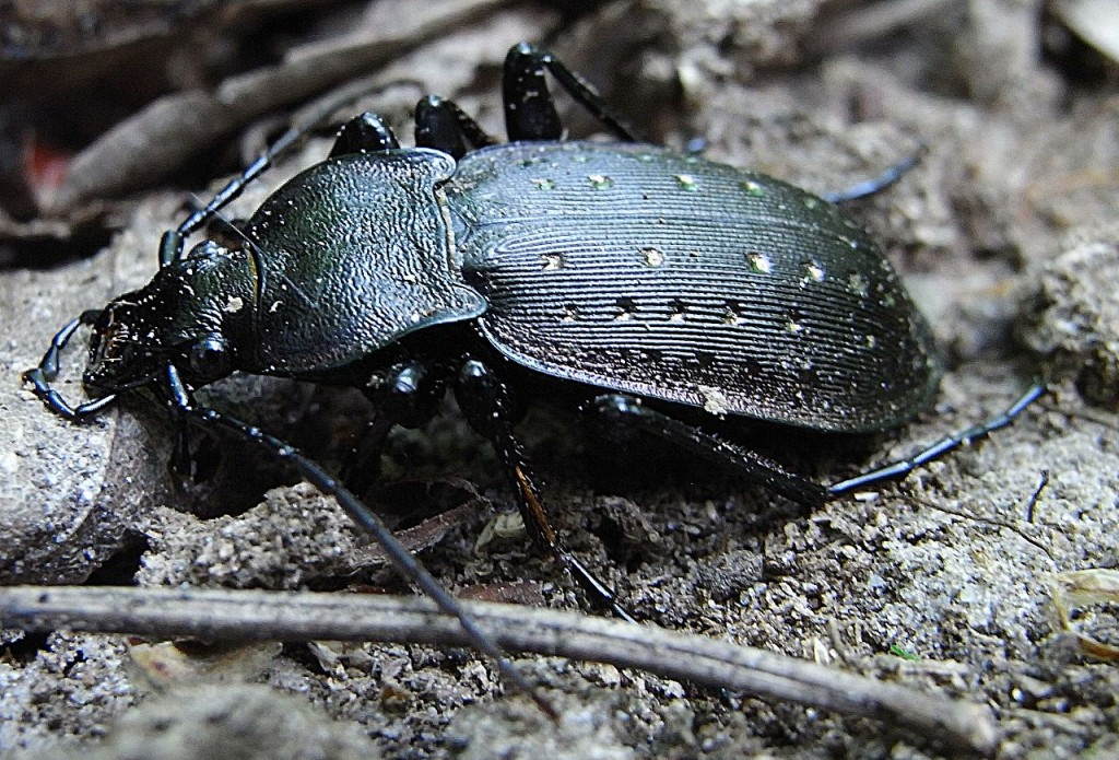 1280px-Carabus_hortensis_side