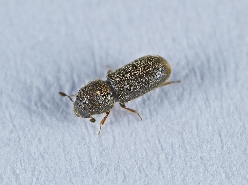 Ernoporicus fagi