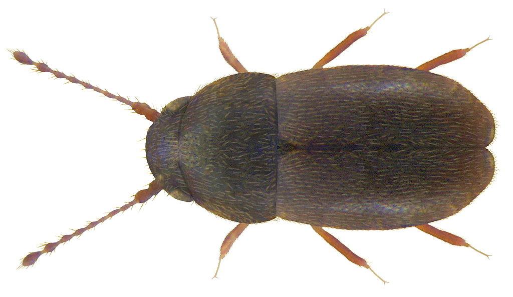 Euryptilium_saxonicum