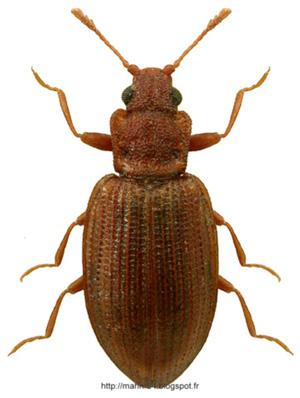 Latridius-nidicola
