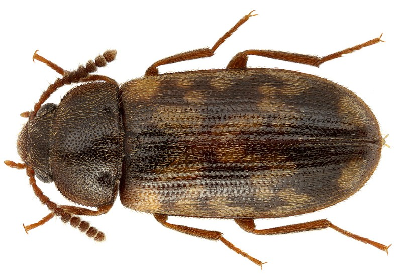 Mycetophagus multipuncta_ms