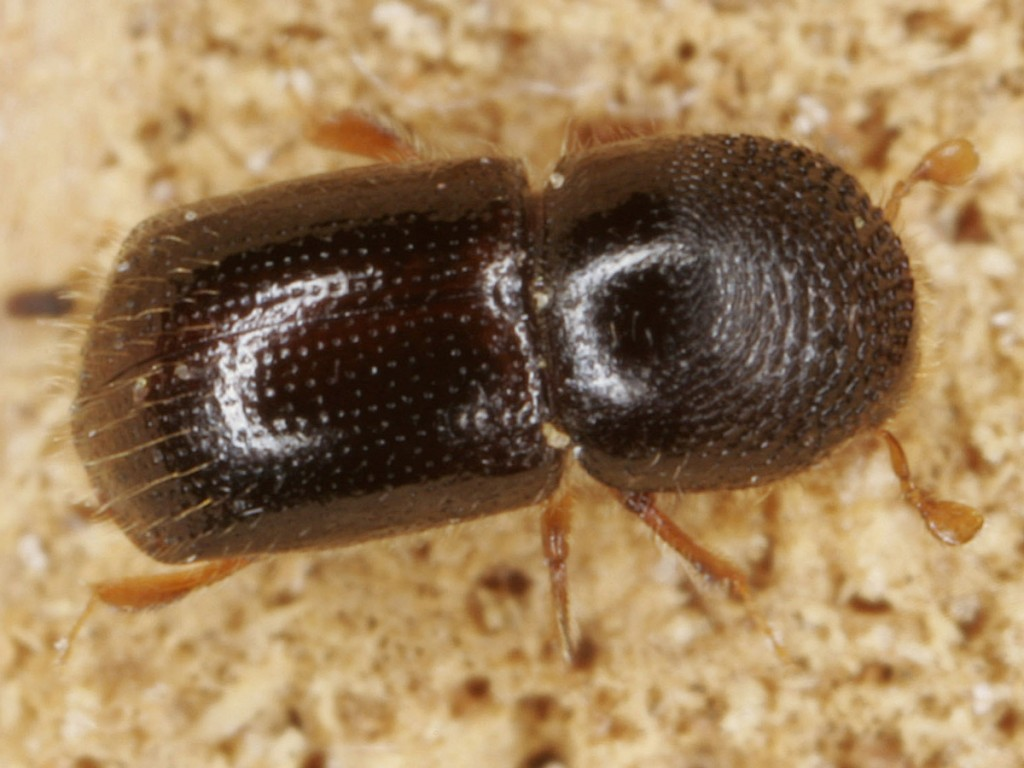 Xyleborus germanus