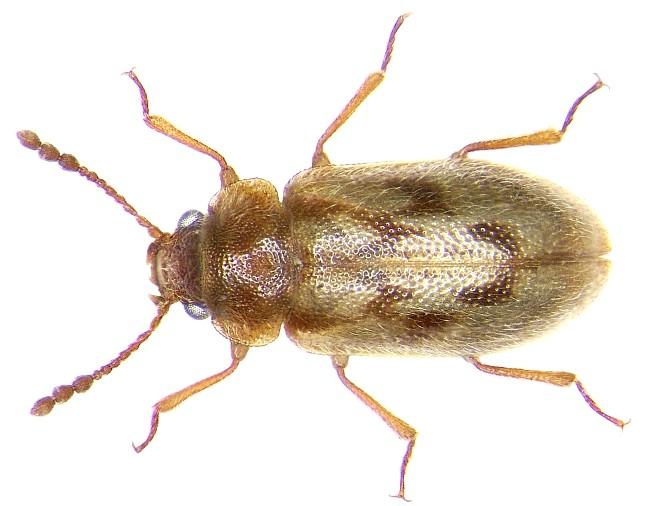 Phloiophilus edwardsi