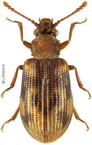 derodontus_macularis_ste