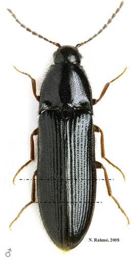 Männchen von Ampedus auripes