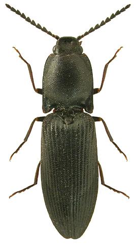 Crepidophorus mutilatus