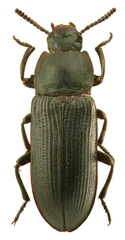 Tenebrio opacus