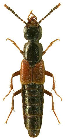 Hesperus rufipennis