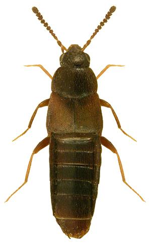 Placusa_tachyporoides